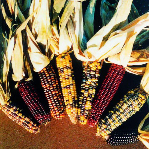 Кукурудза декоративна